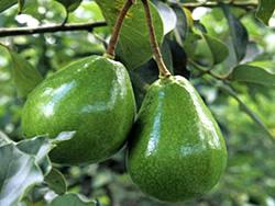 Фрукты — Авокадо