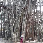@instagram: Масштабы. Баньян. . . . #подасфальтомпляж. #bigbanian #goa #mandrem