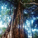 @instagram: A huge and splendid Banyan tree in Arambol. #tree #banyantree #goa #arambol #india #travel #nature