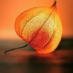 @instagram: #fisális #físalis #physalis #chineselanternplant #chandeliers #berrie #berries #baga #bagas #fruto