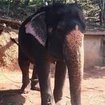 @instagram: На территории Индии живет более 30 000 диких слонов! ????  Ясное дело они не разгуливают по Гоанским пляжам как коровы ????) Но на Экскурсии « Весь гоа за один день» Есть возможность, покататься или покупаться со слонами! Так как дрессировка животных в Ин