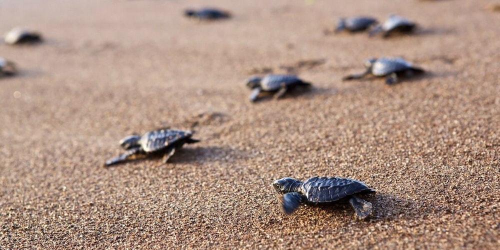 Оливковые черепахи Ридли
